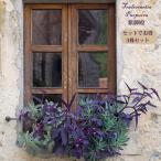 花苗 紫御殿 ムラサキゴテン 1鉢 3.5号Tradescantia pallida Purpurea ツユクサ
