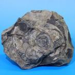 北海道産アンモナイト(ハウエリセラス) 2970g   Haiericeras 天然石 化石