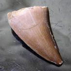 《完品》モササウルス 歯の化石(約28ミリ) 恐竜 化石 Mosas...--3024