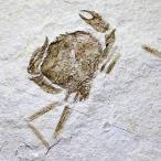 レバノン Haqil産 カニの化石(約54ミリ) 蟹 化石 Haqi...--59400