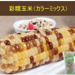 【新品】彩糯玉米(1本入) とうもろこし 真空パック調理済み 温めるだけ  250g 中国産