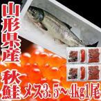 秋鮭 生 切身 一本 メス 3.5〜4kg いくら 生冷蔵 山形県産 鮭