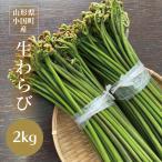わらび 山形県小国町産山菜 生わらび2kg 太くてトロトロ食感、最上級わらびです!