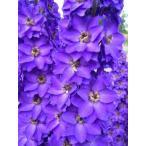 Delphinium Purple Velvet デルフィニウム・パープル・ベルベット・苗