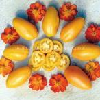 Heirloom Tomato Orange Banana エアルーム・トマト・オレンジ・バナナ*9cmポット実生苗4苗1セット*予約商品
