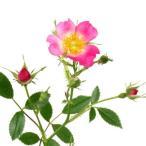 赤花ノイバラ 山野草