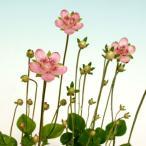 赤花ウメバチソウ 山野草