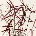 黒軸カリヤス 山野草