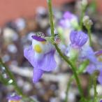 クリオネゴケ  山野草・食虫植物