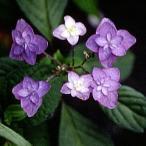 ヤマアジサイ 深山八重紫アジサイ  山野草
