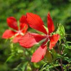 モミジアオイ:紅蜀葵 山野草