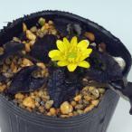紫葉姫リュウキンカ 山野草