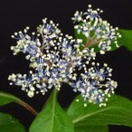 オクタマコアジサイ 奥多摩小紫陽花