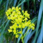 オミナエシ 野生 中型種 山野草
