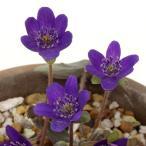オオミスミソウ 紫花  雪割草・ユキワリソウ  濃い花色選抜品  山野草