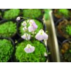 U・リビダ・メキシコ  食虫植物,マジカルプランツ