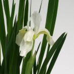 白花アヤメ 山野草