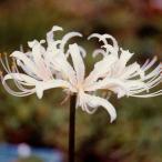 白花ヒガンバナ 山野草