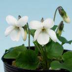 白花ニオイスミレ