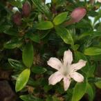 八房紫丁花 山野草