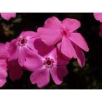 芝桜苗 マックダニエルクッション(濃ピンク色) 24個セット・1平米分(しばざくら・シバザクラ・モスフロックス)