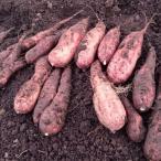 紅はるか送料無料 土つき熟成庫直出し新物さつまいも おかやま備中産10kg