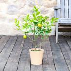 父の日 2021 花 レモン鉢植え 日比谷花壇