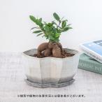 父の日 プレゼント 花 盆栽「ツルウメモドキ(根上り)」 日比谷花壇 ギフト 父の日カード付き 鉢植え