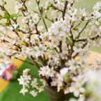 お正月 ボックスフラワー 啓翁桜  日比谷花壇