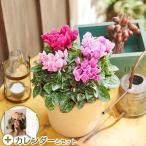 お歳暮 花鉢 「ガーデンミニシクラメン寄せ植え」ピンク系 日比谷花壇2017カレンダー付き 日比谷花壇