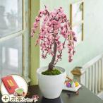 お正月 花鉢「しだれ梅」盆栽 ピンク系 金箔入り煎茶「お年賀 寿」付き 日比谷花壇