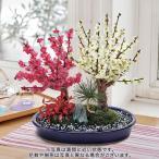 お正月 花鉢「紅白梅盆栽」盆栽 日比谷花壇