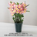 ショッピング花 お歳暮 洋ラン「デンドロビウム(ピンク系)」日比谷花壇