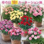 母の日 花  選べるカーネーション鉢 フラワー プレゼント ギフト 鉢植え 母の日カード付き