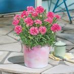 母の日 花鉢  「カーネーション(ピンク系)」  日比谷花壇