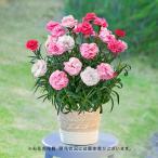母の日 花鉢  「カーネーション(複色 パープル&ホワイト系)」  日比谷花壇