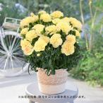 母の日 花鉢  「カーネーション(複色 オレンジ&ピンク系)」  日比谷花壇
