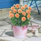 母の日 花鉢  「カーネーション(オレンジ系)」  日比谷花壇