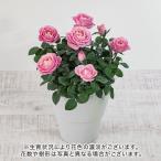 母の日 ミニバラ 花鉢「サンドバンクスサンセット」大西 隆コレクション 日比谷花壇