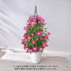 母の日 花鉢 ミニバラ「セントラル キューティー」大西 隆コレクション 日比谷花壇 花 プレゼント ギフト 鉢植え 母の日カード付き
