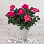 母の日 花鉢 ミニバラ寄せ入れ「サンクローズ」大西 隆コレクション 日比谷花壇 花 プレゼント ギフト 鉢植え 母の日カード付き