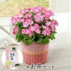 母の日 ギフト 花鉢 ペラルゴニウム 「マダムバタフライ」 お茶付き 日比谷花壇