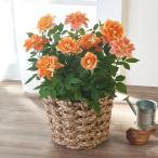 母の日 花鉢 ミニバラ「グリーンアイス」 日比谷花壇 花 プレゼント ギフト 鉢植え 母の日カード付き