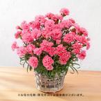 母の日 花鉢「カーネーション(レッド系)8号」 日比谷花壇 花 プレゼント ギフト 鉢植え 母の日カード付き