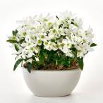母の日 デンドロビウム「フォーミディブル」 日比谷花壇 花 プレゼント ギフト 鉢植え 母の日カード付き