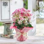 花鉢 「ブーゲンビリア(複色)」  送料無料 お中元  サマーギフト 日比谷花壇