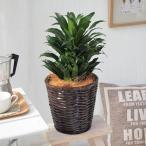 観葉植物「ドラセナコンパクタ・バスケット」 日比谷花壇