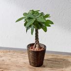 観葉植物「パキラ(M)・バスケット」 日比谷花壇