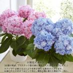 桜鉢「南殿桜」(風呂敷包み) 日比谷花壇 プレゼント ギフト 誕生日 記念日 結婚祝い 結婚記念日 愛妻の日 バレンタイン ひな祭り ホワイトデー