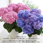 桜の小鉢「旭山」4号 日比谷花壇 プレゼント ギフト 誕生日 記念日 結婚祝い 結婚記念日 愛妻の日 バレンタイン ひな祭り ホワイトデー